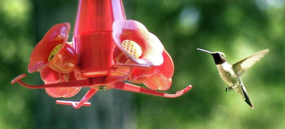 A ruby-throated hummingbird approaches a feeder.
