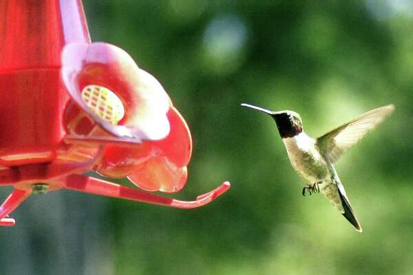 A ruby-throated hummingbird approaches a feeder