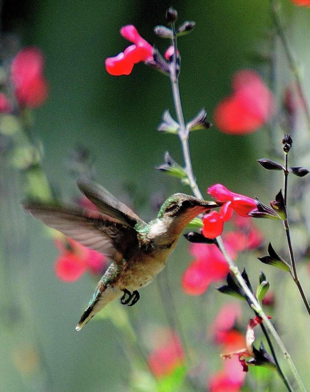 Cherry sage, Salvia greggii blooms all summer bring in pollinators including hummingbirds.