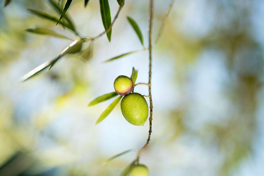 Olives on a tree at Round Pond Estate in Napa in 2017. Members of the California Olive Oil Council produced about 4 million gallons of extra virgin olive oil last year but expect to produce only 2.8 million gallons this year. Photo: Noah Berger / Special To The Chronicle 2017