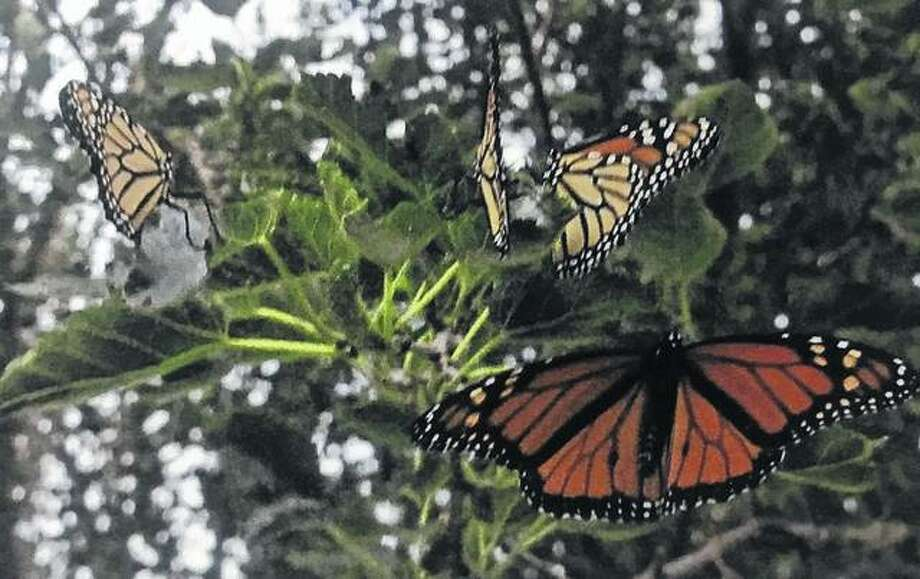 Monarch butterflies gather in the trees.