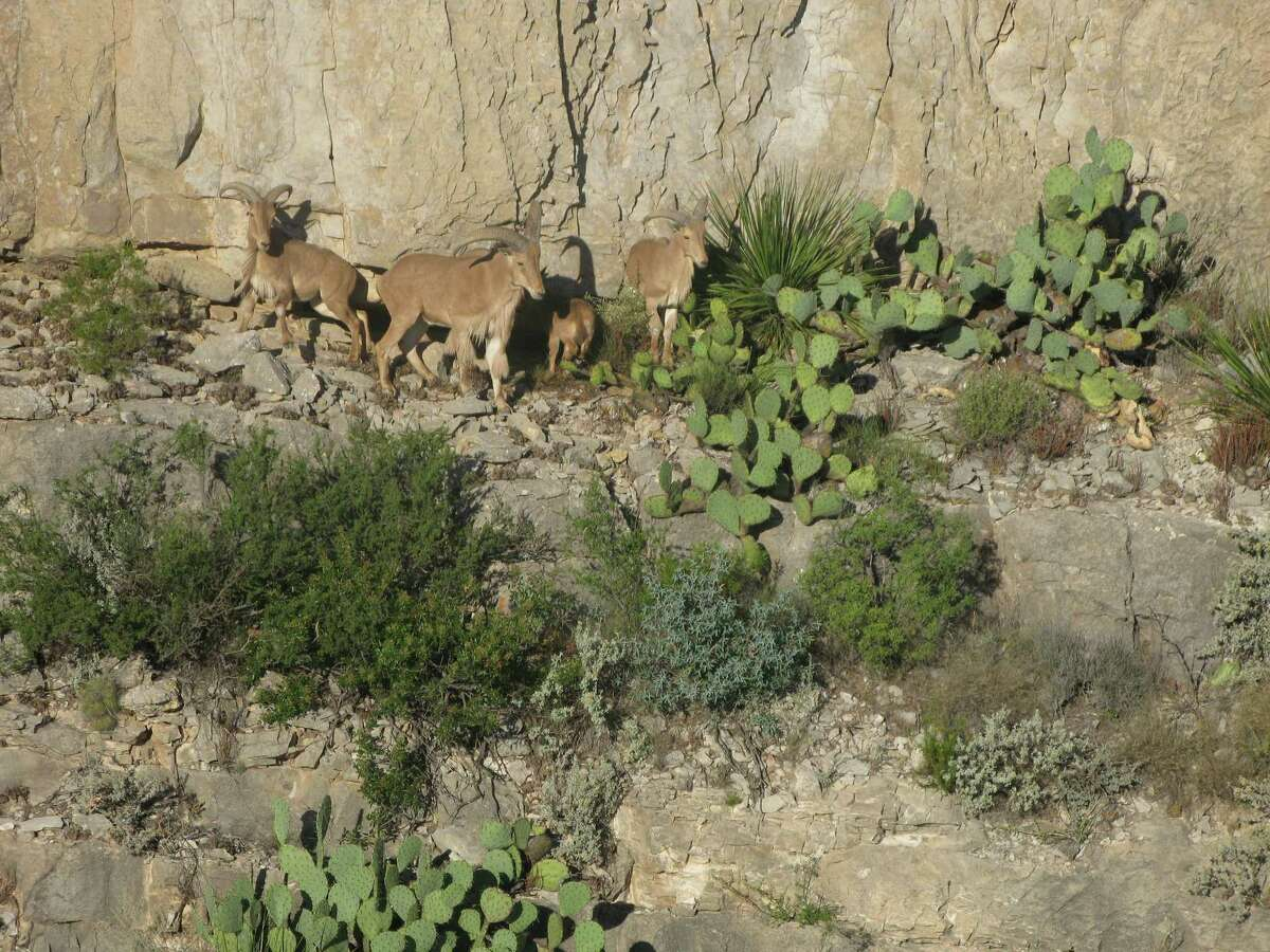Aoudad sheep, introduced to Texas after World War II, offer some of the most challenging exotic hunts in the state ?- but left unchecked on public lands, they can negatively impact native species.