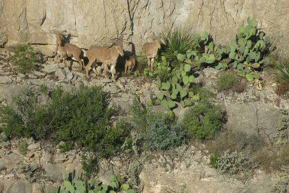 Aoudad sheep, introduced to Texas after World War II, offer some of the most challenging exotic hunts in the state – but left unchecked on public lands, they can negatively impact native species.