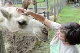 Marketing Director Kim Wolbrecht greets a camel named Carl at Blessington Farms in Simonton on Thursday, Sept. 20.