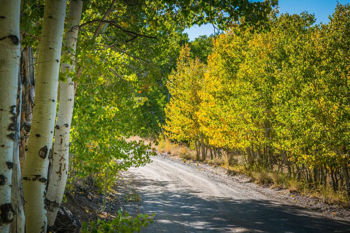 The trees lining Lobdell Lake Road in Mono County are turning a brilliant yellow.