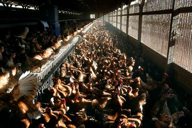 Chickens gather and lay eggs in an organic hen house at Sunrise Farms in Petaluma, Calif. on Wednesday, Aug. 25, 2010, which produces about a million eggs a day from a hen population of 1.2 million. No eggs produced in California have been recalled because the salmonella scare.