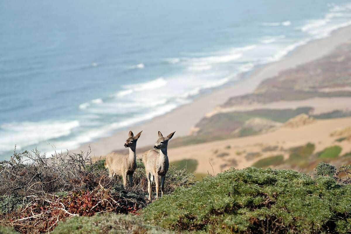Two fawns above South Beach at Point Reyes National Seashore in Point Reyes, Calif. on Thursday, September 20, 2018.