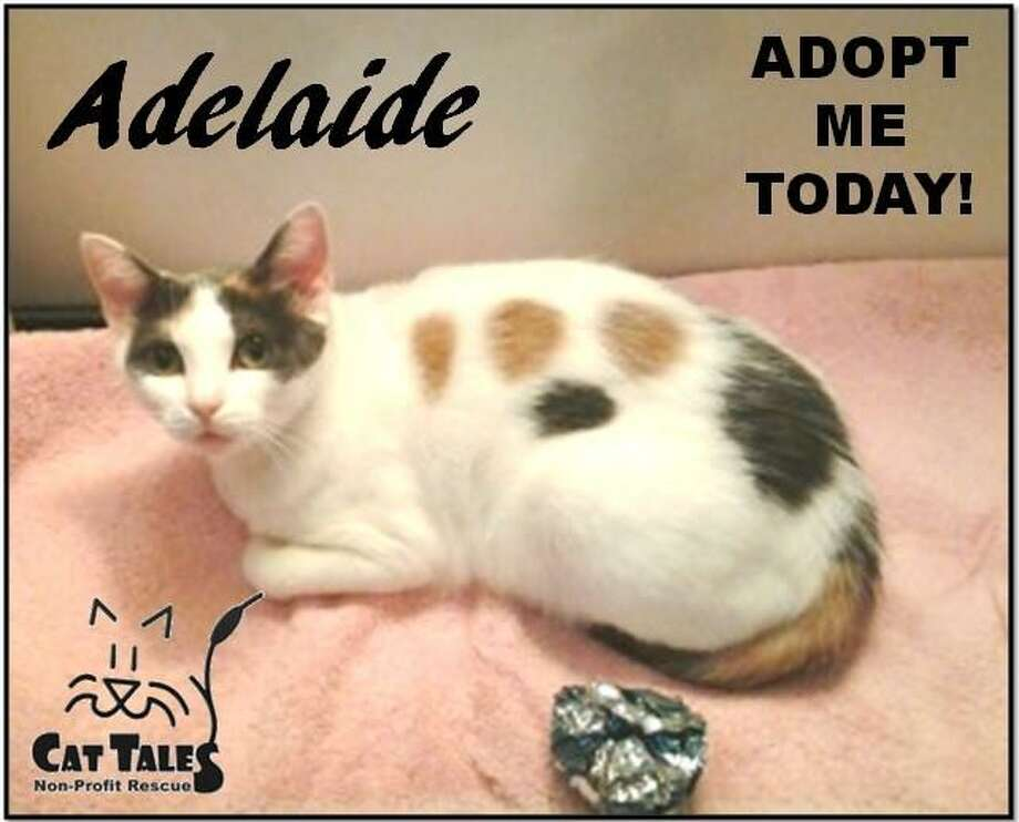 "Adelaide is waiting at Cat Tales for a new home. She says, ""Icame to Cat Tales with my five 2-week old kittens. I was a very good mom and very tolerant of all their kitten antics. Now that they have all been adopted, I am ready for a forever home of my own. I am a mellow, quiet kitty who loves attention from the people I know. I am a bit shy with strangers but the Cat Tales volunteers continue to work with me on this. I am FIV positive , but don't worry, it's not, contagious to humans and  very difficult for other cats to catch (we'd have to exchange blood). FIV cats can live just as long as any cat without FIV. I hope you will please adopt me."" Visit http://www.CatTalesCT.org/cats/Adelaide, call 860-344-9043 ,or email info@CatTalesCT.org. Watch our TV commercial: https://youtu.be/Y1MECIS4mIc Photo: Contributed Photo"