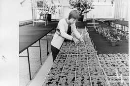 Karyn Townsend, floriculturist at Dow Gardens, cares for some 1,100 geranium plants to be transplanted in spring. March 1977