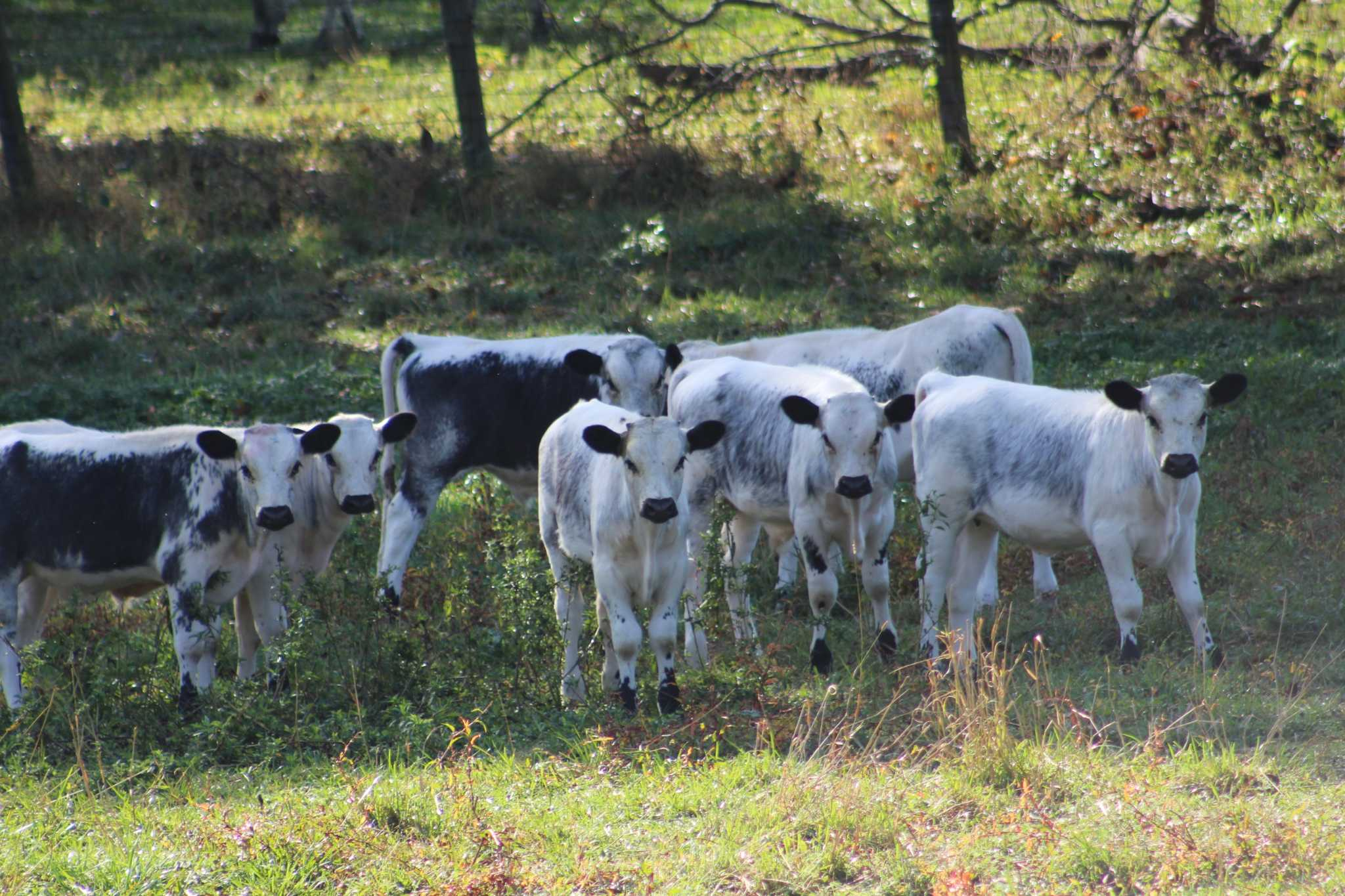 Home of rare cattle protected