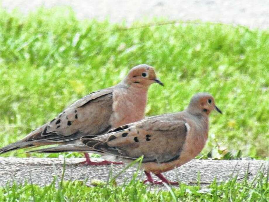 Two doves stroll along a sidewalk in Scottville. Photo: Beverly Watkins | Reader Photo