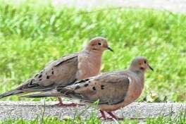 Two doves stroll along a sidewalk in Scottville.