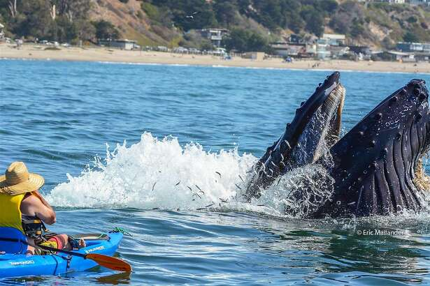 A feeding humpback whale surges through the surface to feeding on anchovies just ahead of kayaker Giancarlo Thomae a short distance off Rio Del Mar in Monterey Bay