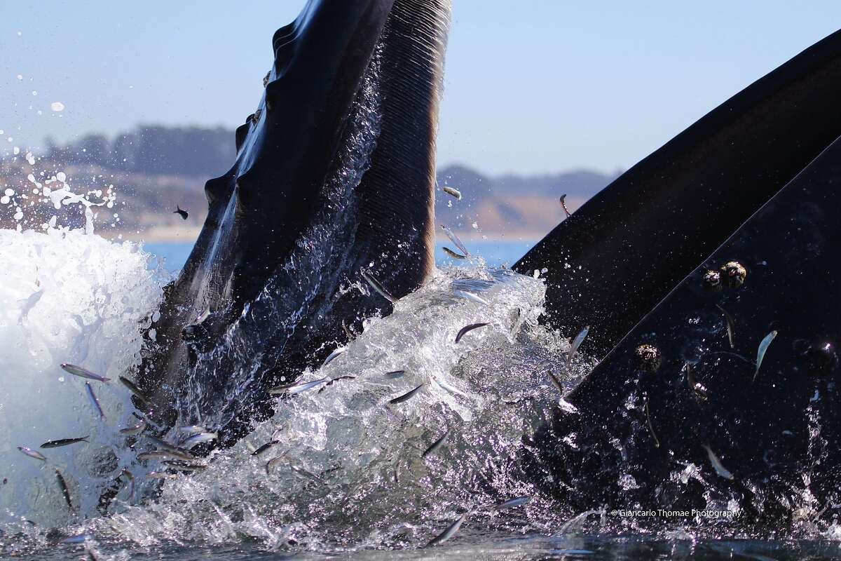 A 40-ton humpback whale surges through the surface to feed on anchovies within short range of Rio Del Mar on Monterey Bay