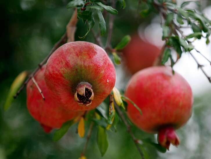 Detail of pomegranates in Mimi and Bob Gourley's backyard Thursday July 17, 2014.