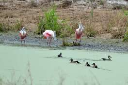 Roseate spoonbills with black-bellied whistling ducks are seen at Seabourne Park.