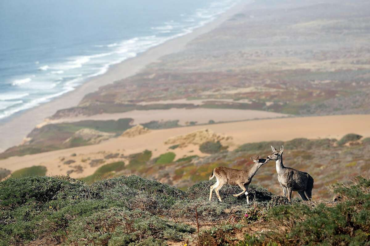 In this file photo, a doe and her fawn above South Beach at Point Reyes National Seashore in Point Reyes, Calif. on Thursday, September 20, 2018.