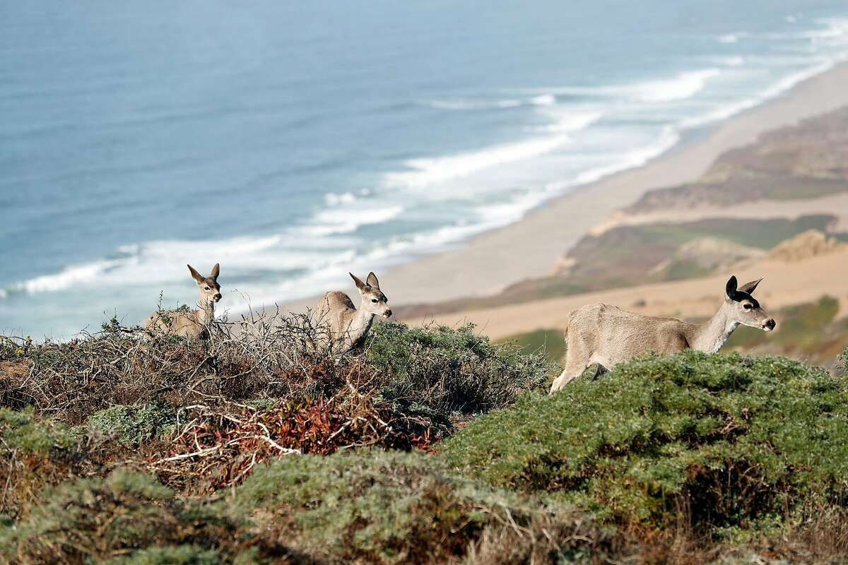 A doe and her fawns above South Beach at Point Reyes National Seashore in Point Reyes, Calif. on Thursday, September 20, 2018.
