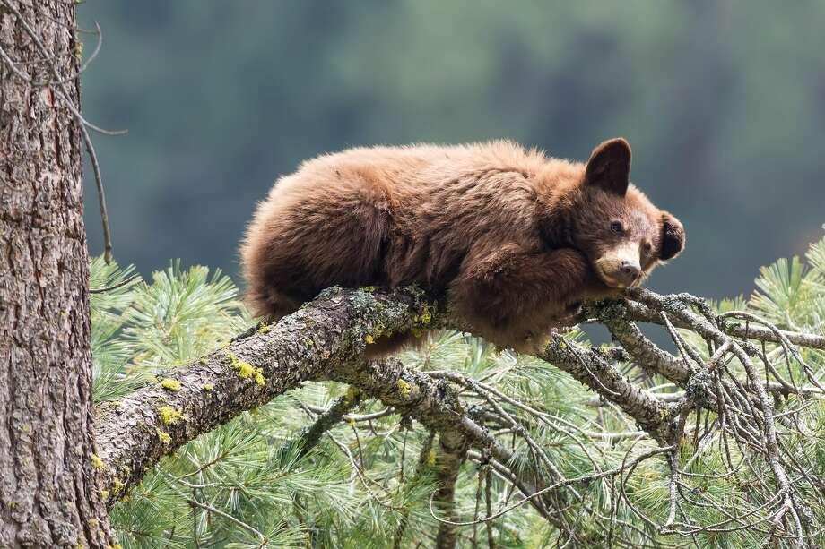 A bear apparently came into contact with 60,000-volt power lines around 12:40a.m. in Butte County on Monday morning, said PG&E spokesperson Paul Moreno via Twitter. Around 4,500 customers lost power. Photo: Brentawp/Getty Images/iStockphoto
