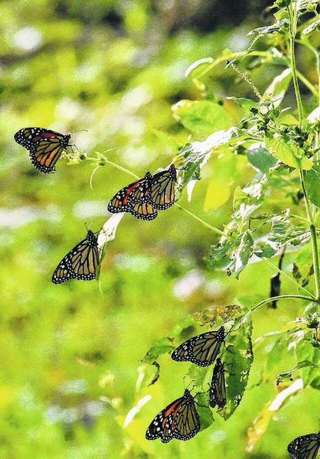 A swarm of butterflies stops to enjoy foliage near Waverly as the group migrates through the area.