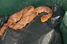 A Hamden resident found a copperhead snake in his garbage bin last week, police said. The snake was safely returned to West Rock Park.