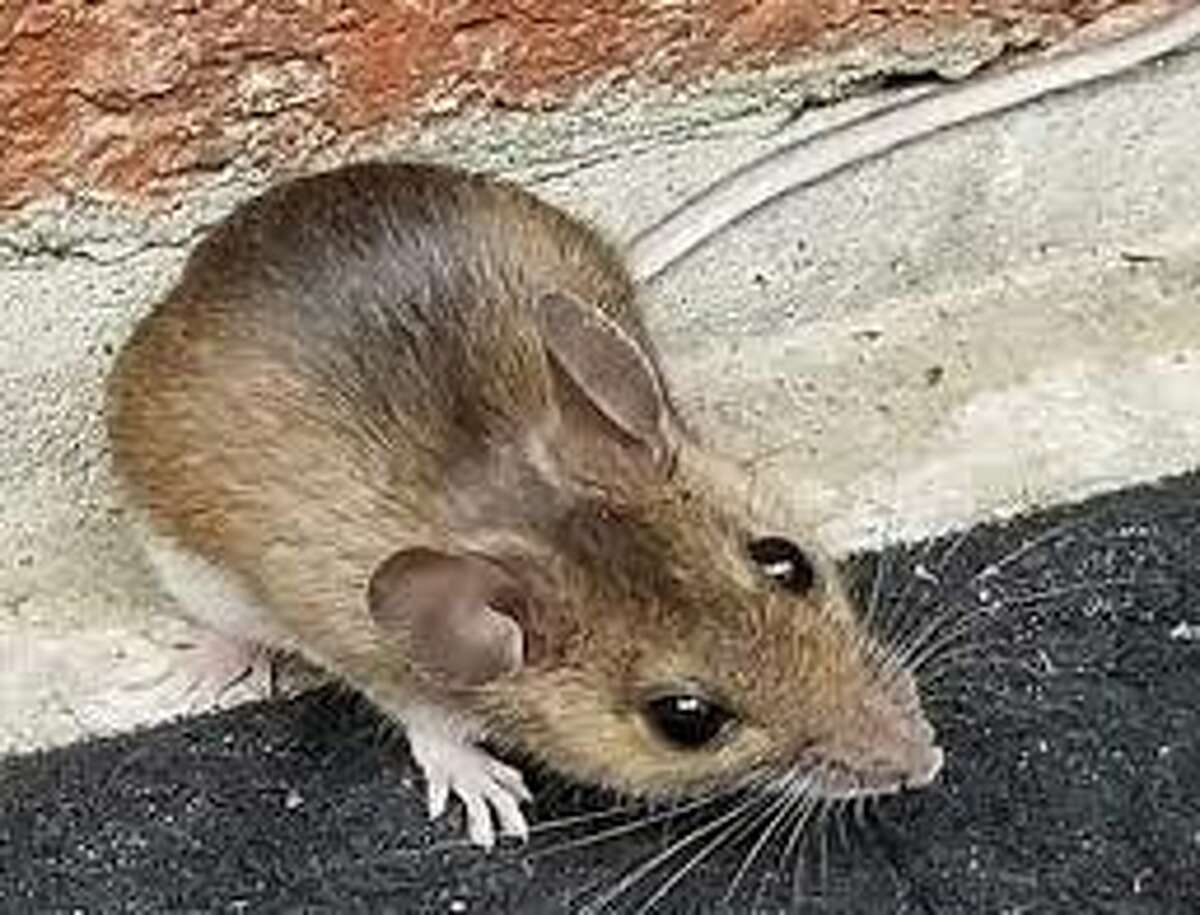 Wild life experts and pest exterminators say they are seeing a surge in mice infestations in homes and cabins the Adirondack Mountains. A mild winter and bumper cross of acorns and other forest nuts are being credited with fueling the increase.