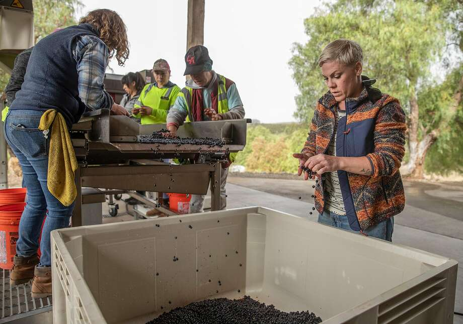 Winemaker Alecia Moore inspects freshly harvested grapes as they come off the sorting line. Photo: Russell Yip / The Chronicle
