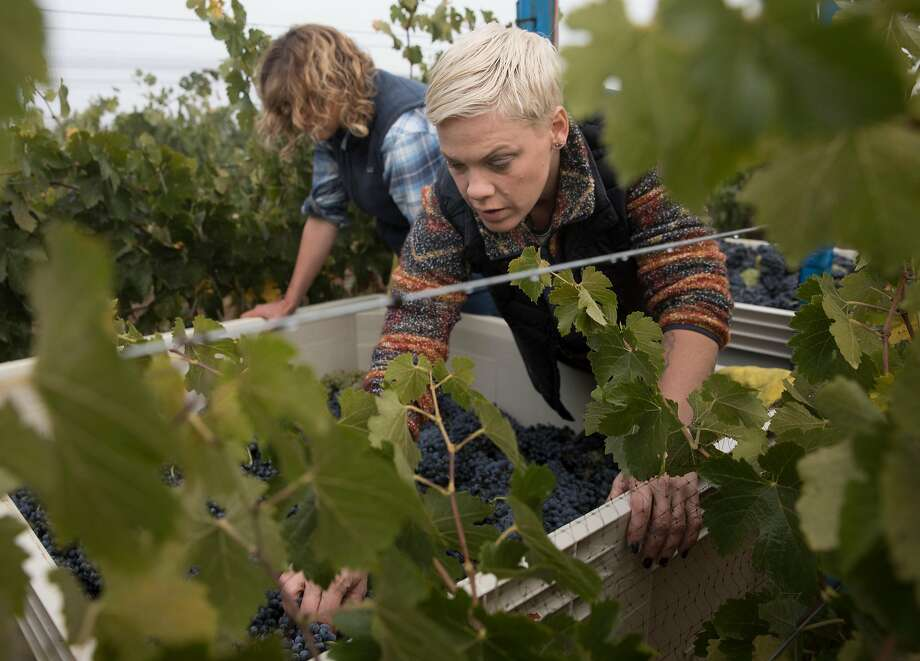 Alecia Moore looks for leaves in a bin of harvested Syrah grapes at her vineyard, Two Wolves Estate. Photo: Russell Yip / The Chronicle