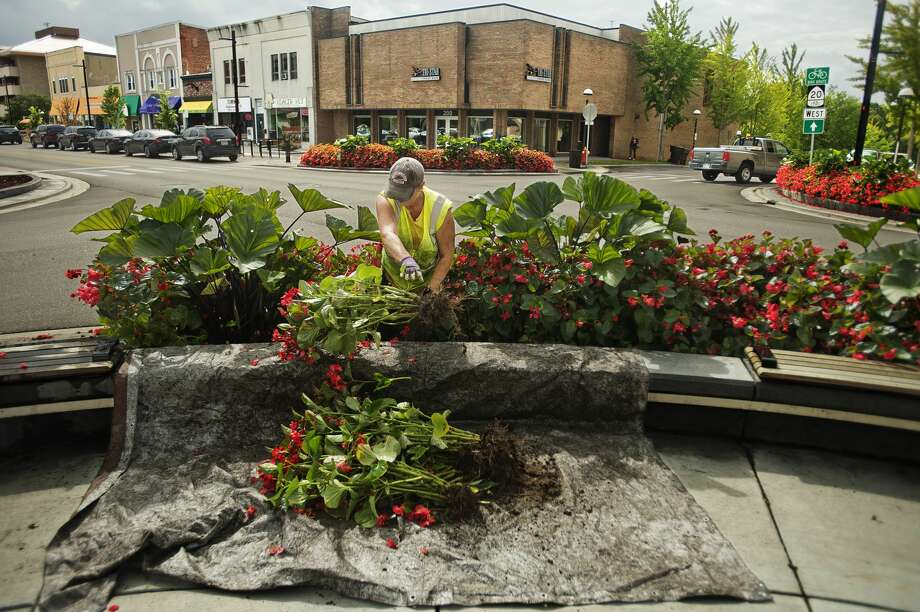 Marcia Balcirak with the City of Midland works to remove plants at the corner of Main and McDonald on Tuesday, Sept. 25, 2018. (Katy Kildee/kkildee@mdn.net) Photo: (Katy Kildee/kkildee@mdn.net)