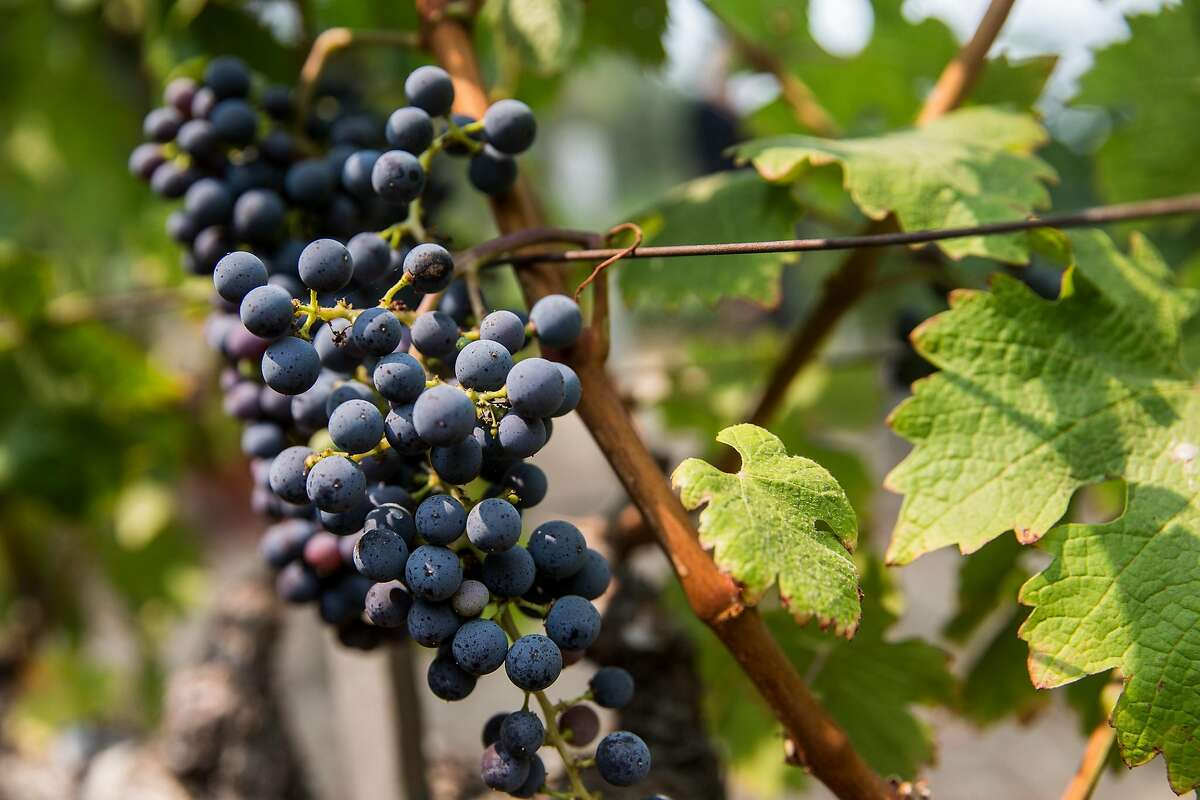 FILE PHOTO: Grapes hang from the vines in Napa, Calif. Tuesday, Aug. 21, 2018.
