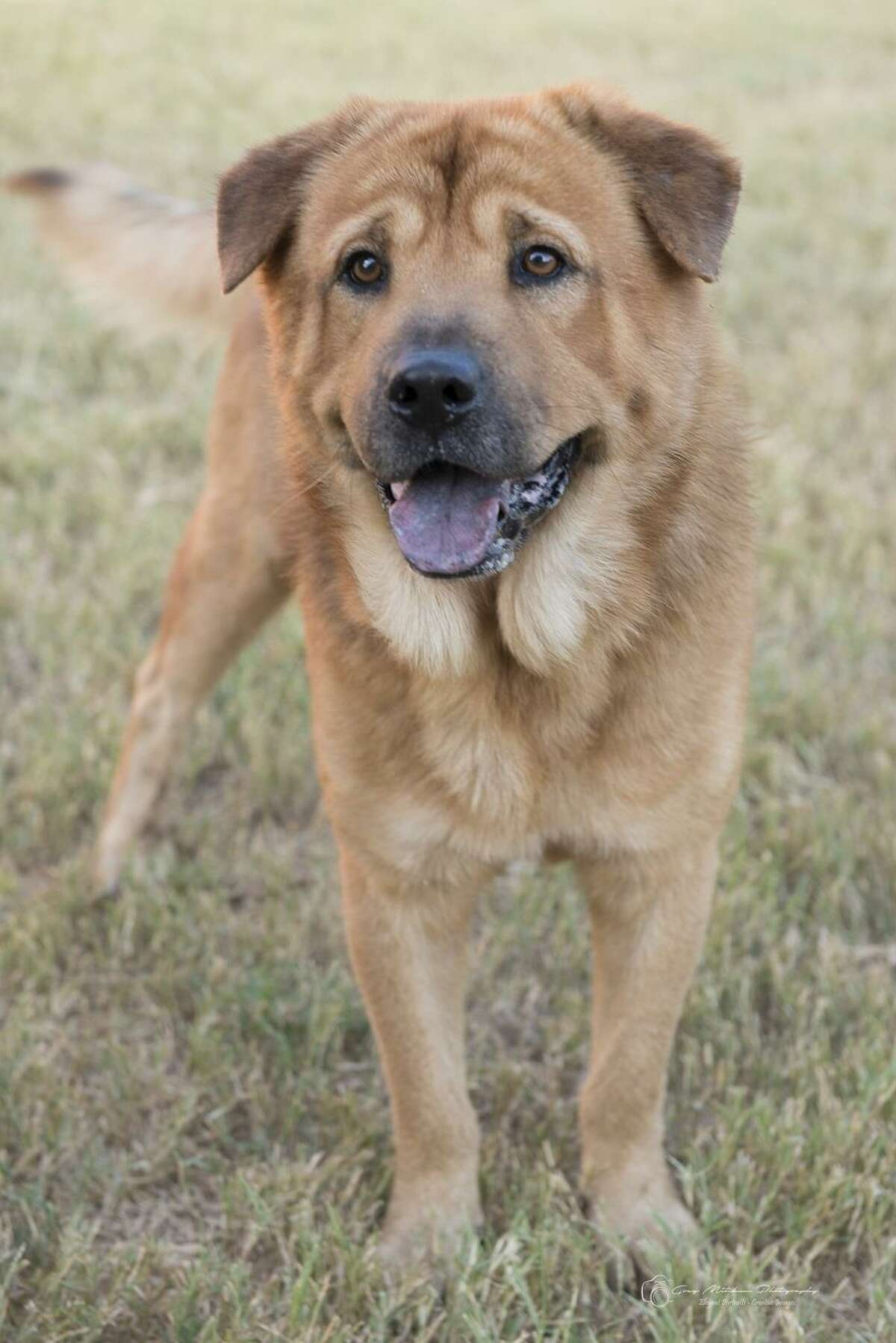 Buford Chow Chow - Labrador Retriever mix 5 years old