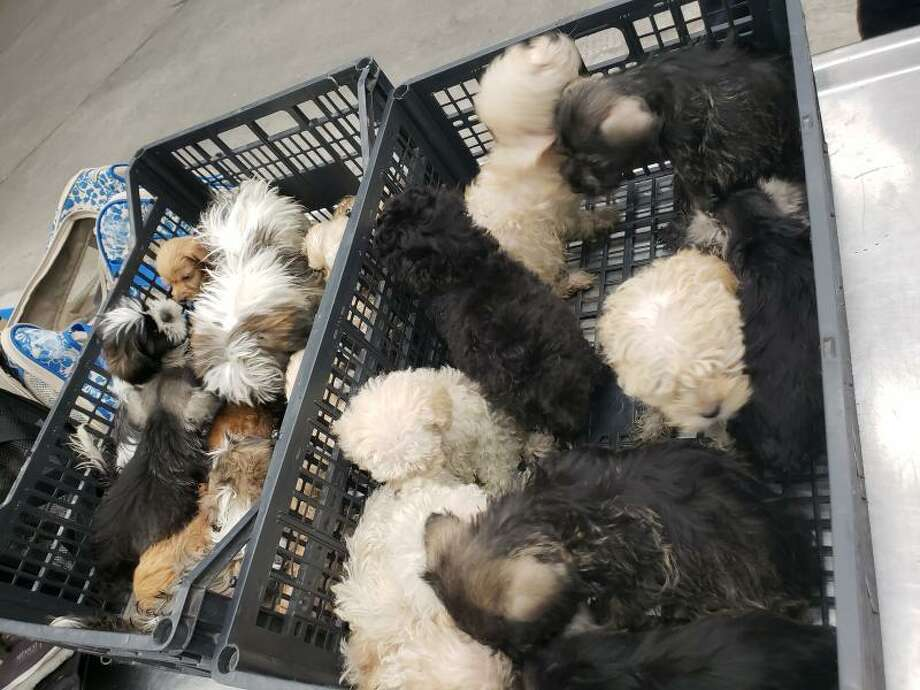 A man allegedly tried to smuggle 25 puppies in duffle bags while crossing a port of entry in Laredo, according to Border Patrol. Photo: Border Patrol