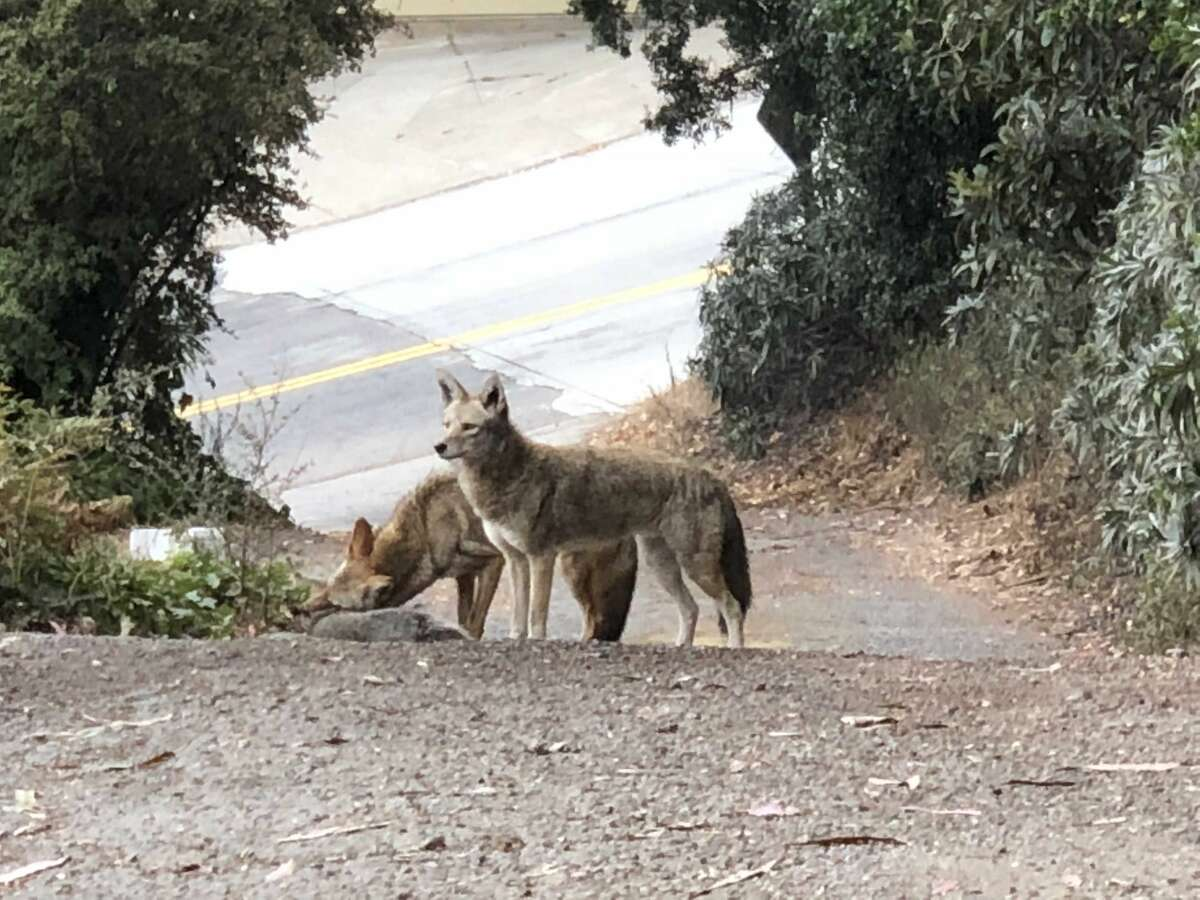 A pair of coyotes feasting on a raccoon in San Francisco's Bernal Height's neighborhood in September 2018.