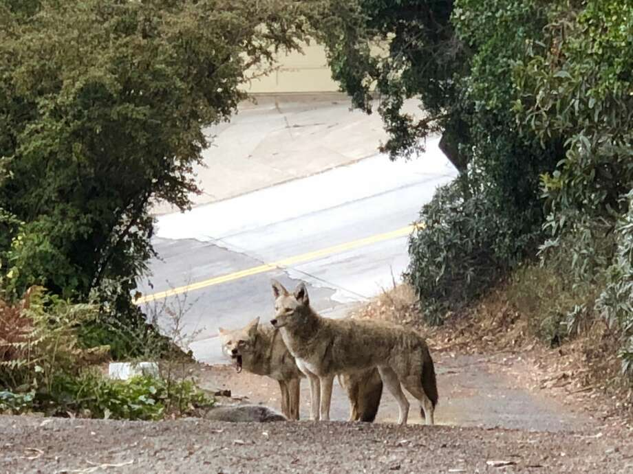 "A pair of coyotes feasting on a raccoon in San Francisco's Bernal Height's neighborhood in September 2018. ""Although the male wouldn't let the female eat,"" says Jane Wattenberg who took the photo. ""He growled and chased her (lightly) away when she attempted a morsel."" Photo: Jane Wattenberg"
