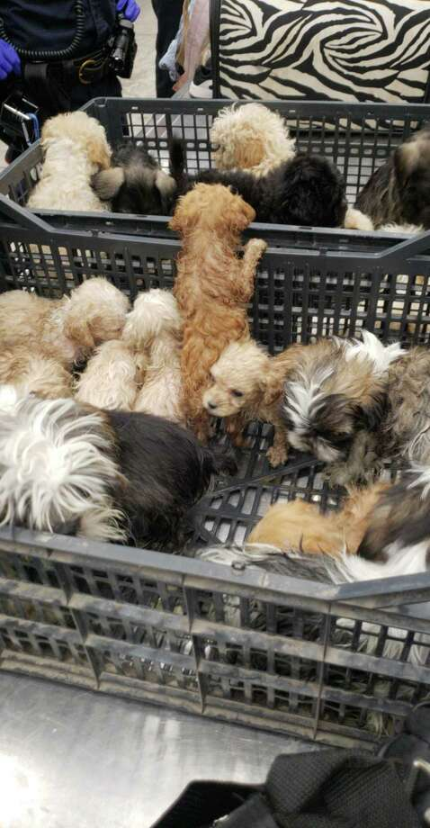 Shown are puppies a man tried to cross through the Juarez-Lincoln International Bridge. Laredo police said the puppies were malnourished.  Photo: Courtesy Photo /U.S. Customs And Border Protection