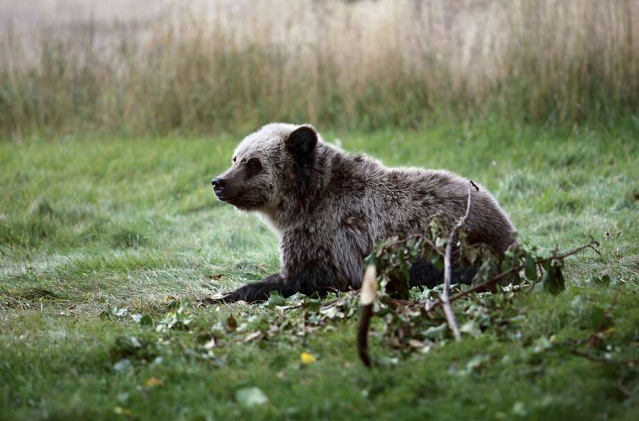 A grizzly bear cub rests near the north entrance to Yellowstone National Park in Gardiner, Mont. A court ruling that blocked grizzly hunts carries far wider political implications. Photo: Alan Rogers / Associated Press