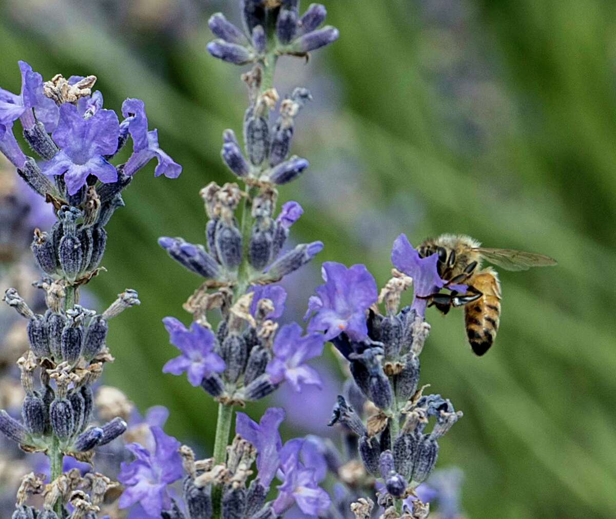A honey bee does its magic on lavender plants at the Lavenlair Farms Tuesday July 10, 2018 in Whitehall, N.Y. (Skip Dickstein/Times Union)