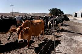Dairy cattle at the historic C Ranch at the Point Reyes National Seashore, Calif., on Thursday Oct. 2, 2014. Ranchers are complaining about the tule elk along the Point Reyes National Seashore, because they have begun roaming onto their grazing lands, knocking down fences and foraging where their cattle forage. The ranchers want the elk removed and fenced off, but conservationists think they should roam free.