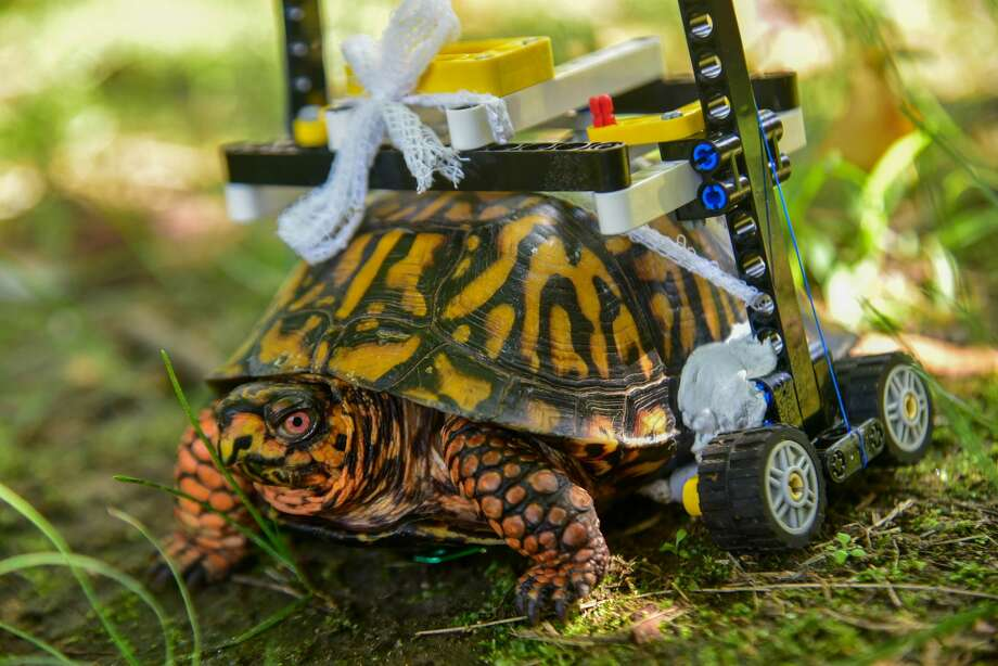 A wild Eastern box turtle at the Maryland Zoo in Baltimore is on the mend and on the move thanks to some clever engineering using Lego bricks. (Sinclair Miller/Maryland Zoo/TNS) Photo: Sinclair Miller/TNS