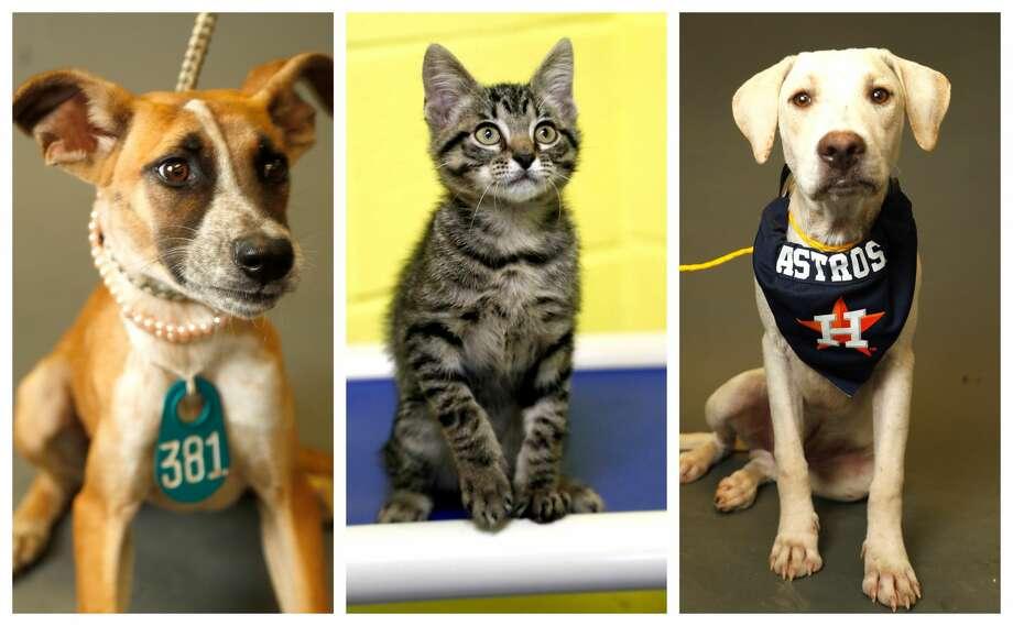 Pets of the Week for Sept. 27, 2018 Photo: Karen Warren