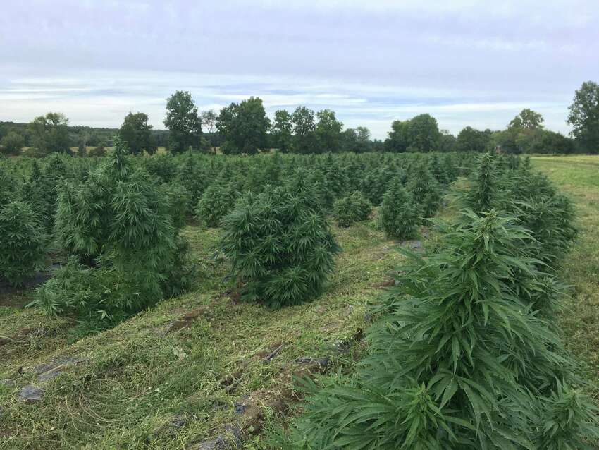 Hudson Hemp is a part of the 2,400 acre Old Mud Creek Farm near Livingston. Dobson said this year was the second the farm has grown hemp.