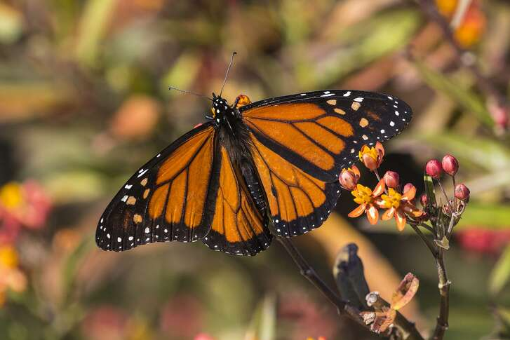 Monarch butterflies are migrating through the area. Some will stay during the winter. Plant native milkweed to help them survive.