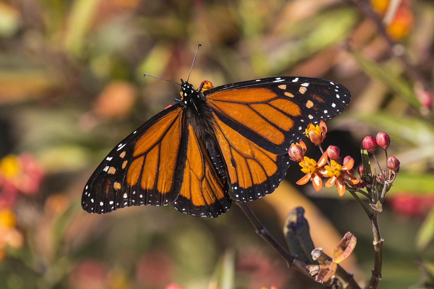 Monarch butterfly migration is coming to Texas - HoustonChronicle.com