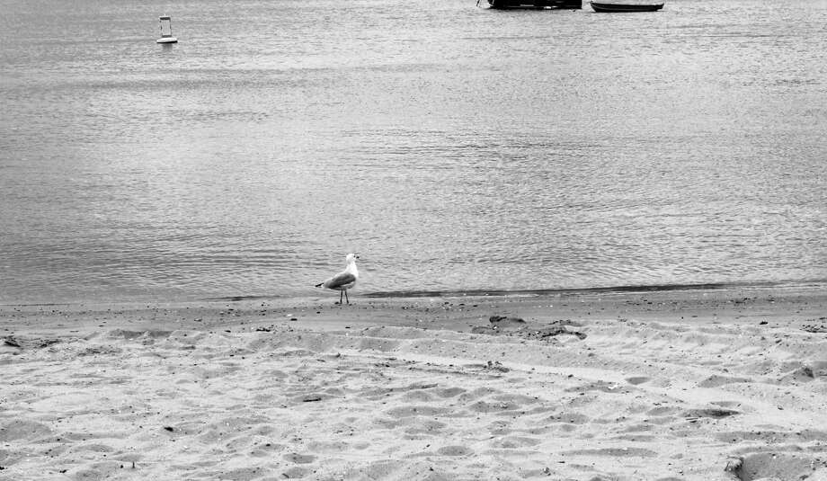 A seagull at Pear Tree Point Beach on Sept. 24. Photo: Lynandro Simmons / Hearst Connecticut Media