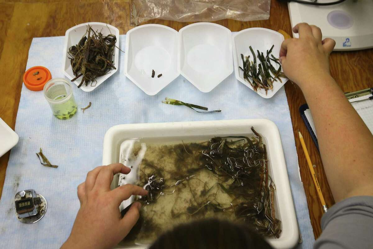 Research tech Kylee Holt separates pieces of seagrass for an ongoing research project at The University of Texas Marine Science Institute (UTMSI), Monday, Sept. 24, 2018 in Port Aransas. The campus was devastated by Hurricane Harvey last year, forcing faculty and students to relocate to facilities at Texas A&M Corpus Christi. Everyone is now back on campus for the fall, some in their permanent spaces and others in temporary ones, as work is completed.