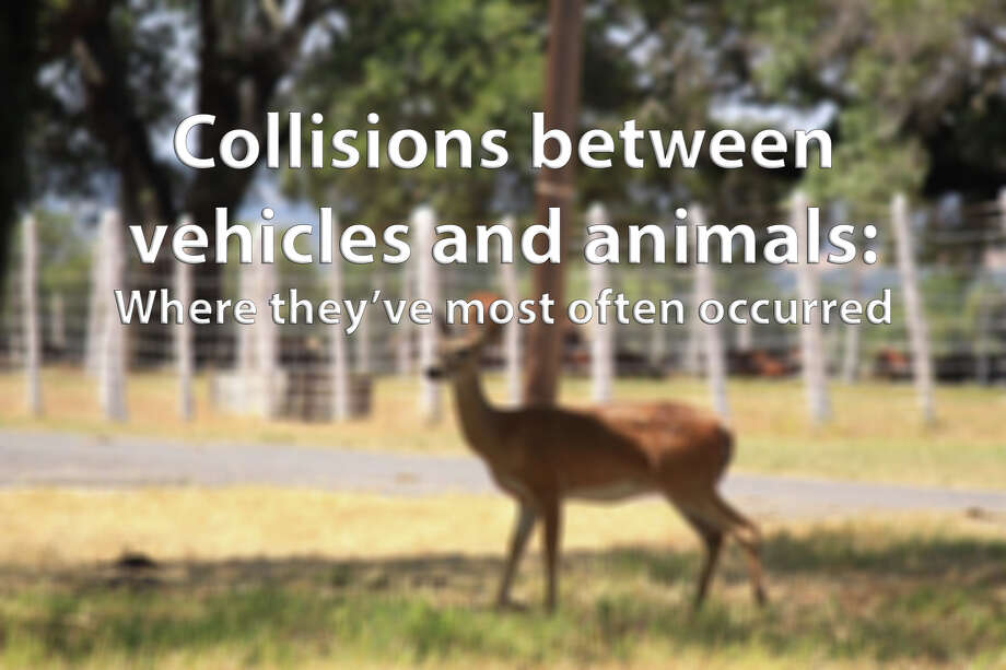 Since 2012, more than 6,000 collisions have occurred between vehicles and animals on San Antonio roads. More than 200 of those have resulted in a fatality or suspected serious injury crash to a person involved.  Click through the slideshow to see where the highest number of collisions have occurred. Photo: FILE PHOTO
