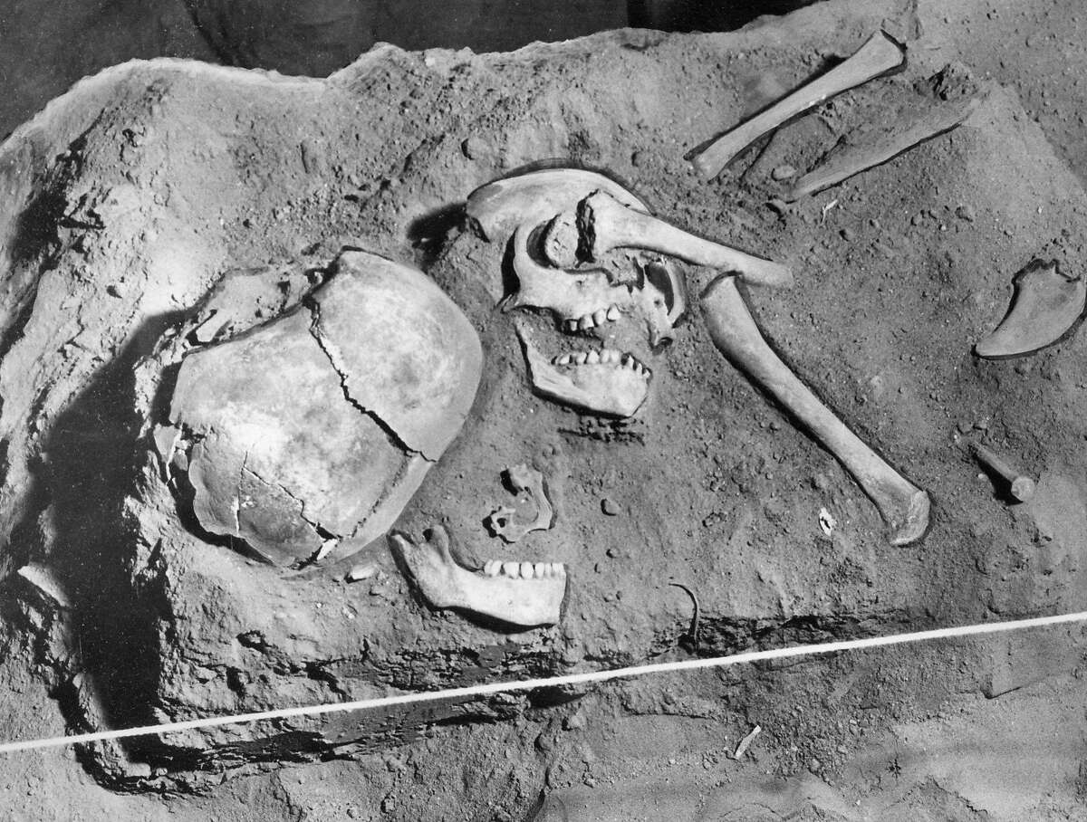 UC Berkeley researchers encountered thousands of Native American bones in past generations, including these two skeletons found in a Tehama County cave in 1953. They were believed to be among the remains of 30 Native people massacred by four white ranchers in 1870. Now, UC campuses that possess Native American remains hope to speed the process of returning them to the tribes they came from, and to ensure they are treated according to the wishes of the tribes.