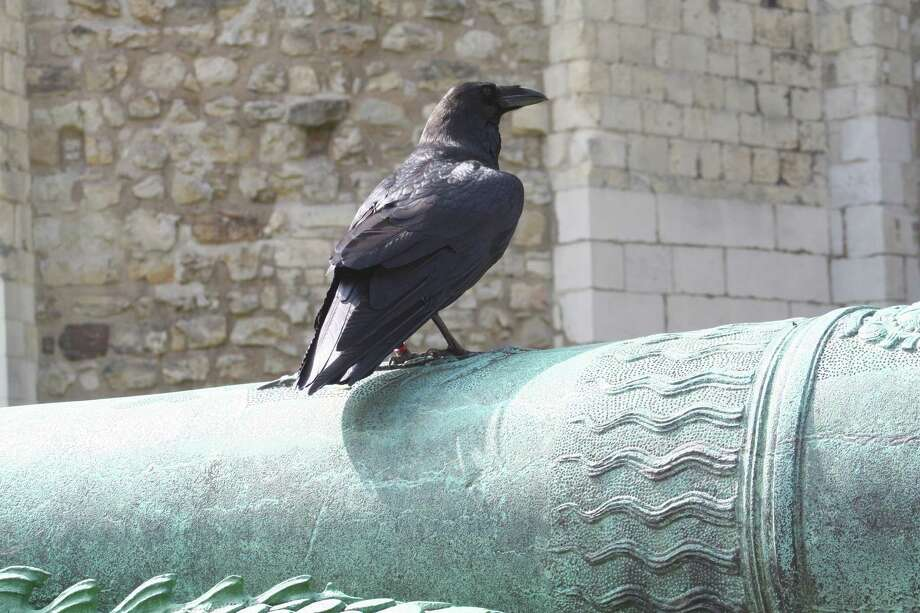 "Peter O'Hara of Rensselaer spent a short vacation in London in the last week of August. At the Tower of London and with modern London all around, what was the best thing? ""The Ravens that are carefully kept at the Tower. This one found a good spot on an ornate bronze cannon and in the sun. If his back looks a bit odd it is because his wings are clipped so he can't fly away. He still has a good life with a few friends and a full time human keeper,"" O'Hara said."