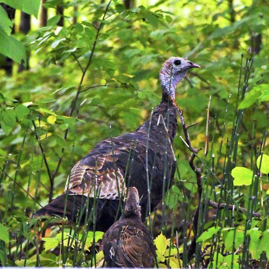 Wild turkeys along a roadside Friday Sept. 28, 2018 in Clifton Park, NY.  (John Carl D'Annibale/Times Union) Photo: John Carl D'Annibale