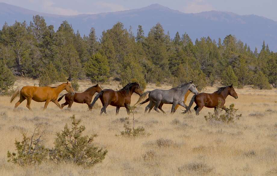 A sub-herd of wild horses near Logan Slough and Big Sage Reservoir in Modoc National Forest, among 5,000 that roam wild in the area. Photo: Tom Stienstra, Tom Stienstra / The Chronicle